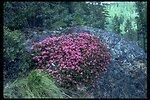 Kalmiopsis fragrans, or commonly known as North Umpqua Kalmiopsis.