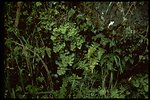 Adiantum jordanii, commonly known as California Maidenhair Fern.