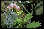 Iliamna latibracteata, commonly known as California Globe Mallow.