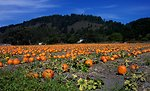 A pumpkin patch along Highway 1 north of Davenport.