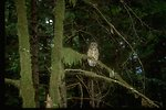 A Northern Spotted Owl perched on a tree branch.