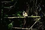 Baby Northern Spotted Owl at Doe Creek.