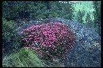Farshot of North Umpqua kalmiopsis (Kalmiopsis fragrans).
