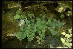 Medium shot of California maidenhair fern (Adiantum jordanii).