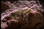 Farshot of grass fern (Asplenium septentrionale).