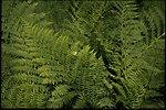 Ferns. Polypodiaceae family.