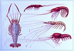Pelagic and deep sea bottom crustaceans. Top: Gnathophausia sp. from Gulf of Gu inea, 4000 meters.  Left: Pentacheles sp., from the Somali coast at 1289 meters. Top right: Aristaeopsis sp. Maldive Islands at 2253 meters.  Middle right: Nematocarcinus sp.