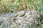 Rattlesnake at AML Poorman, Vale District, Oregon.