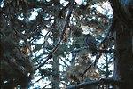 Great Gray Owl (Strix nebulosa) near her nest.