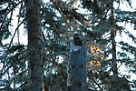 Great Grea Owl sitting on her nest.  (Strix nebulosa)