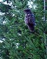 Great Gray Owl (Strix nebulosa) near Silver Falls.