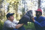 Biologists attach a radio caller to a Great Gray Owl (Strix nebulosa) to monitor the birds movements in the forest.
