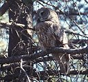 Great Gray Owl (Strix nebulosa) near the Sun River Area on the Deshcutes National Forest in eastern Oregon.