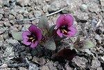 Dwarf monkey flower, Mimulus nanus.  Cougar Butte  Kate Peterson, Prineville  Botany HM