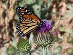 Butterfly on Scotch Thistle at Sutton Mountain burn unit near Mitchel, Oregon.  Wendy Joslin, Prineville  Wildlife1