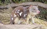Quoll imaged at a rescue park, Tasmania, Austrailia, probably Tiger Quoll (Dasyurus maculatus), indicated by spots on tail