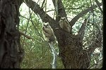 Great Horned Owls sitting in a tree.
