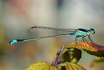 Name Ischnura senegalensis Family Coenagrionidae    Common Bluetail, a widespread damselfly in Africa, the Middle East, Southern and Eastern Asia.   Français:  Ischnura senegalensis, une Demoiselle très commune en Afrique, dans le Moyen Orient, en Asi