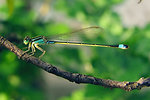 Ischnura senegalensis, Family Coenagrionidae   Common Bluetail, a widespread damselfly in Africa, the Middle East, Southern and Eastern Asia.   Français:  Ischnura senegalensis, une Demoiselle très commune en Afrique, dans le Moyen Orient, en Asie du