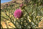 Scotch Thistle in the Baker Resource Area.