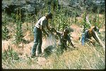 Mullin, Asher, Burton, and Hill (BLM, Forest Service, and Nature Conservancy) pulling yellow Starthistle.