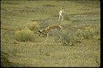 Two Prong Horned Antelope grazing.
