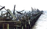 Seagulls, pelicans, and cormorants on a hurricane-damaged pier.