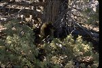Porcupine in the Guano  Creek Wilderness Study Area.  OR 1-132