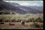 Cattle grazing next to reservoir.