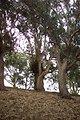 Huge eucalyptus trees at Fort Mason.
