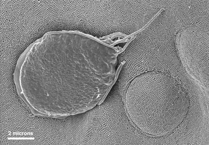 This scanning electron micrograph (SEM) depicted a Giardia muris protozoan adhering itself to the microvillous border of an intestinal epith