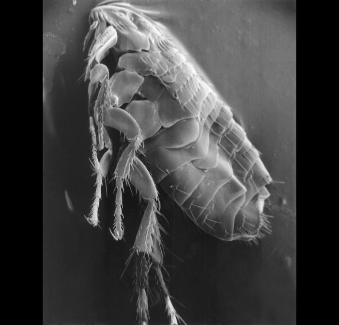 Scanning electron micrograph (SEM) of a parasitic flea.
