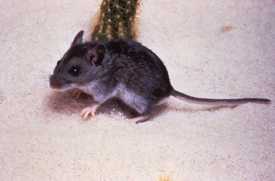 A deer mouse