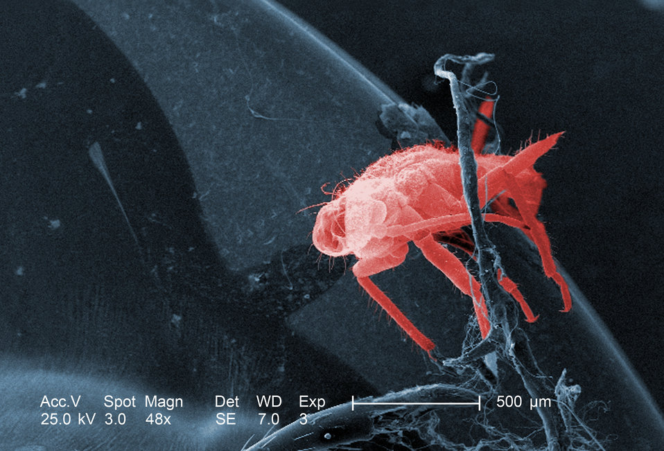 This low magnification, 48x, scanning electron micrograph (SEM) revealed the presence of a small, unidentified insect on the exoskeletal sur