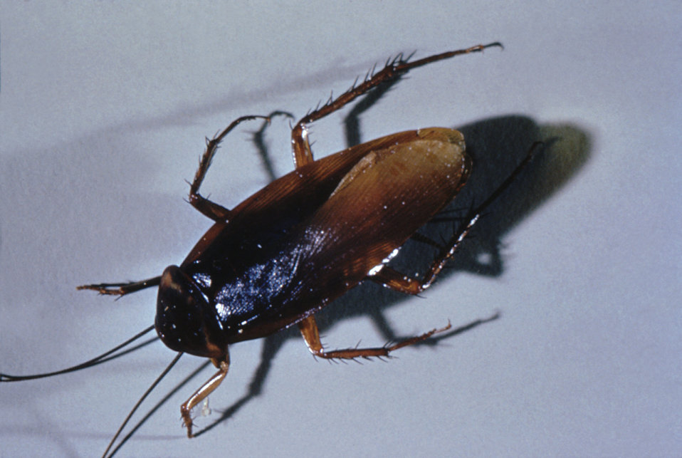 This photograph of an adult cockroach was taken during a 1972 study of disease carriers, and pests of migrant labor camps.