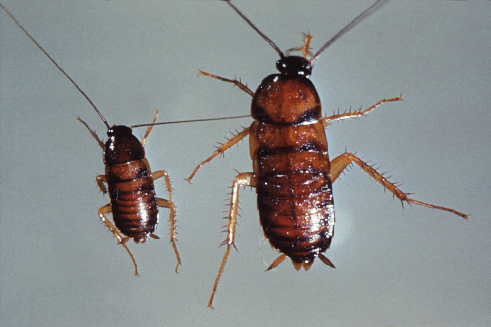 This photograph of two nymph cockroaches was taken during a 1972 study of disease carriers, and pests of migrant labor camps.