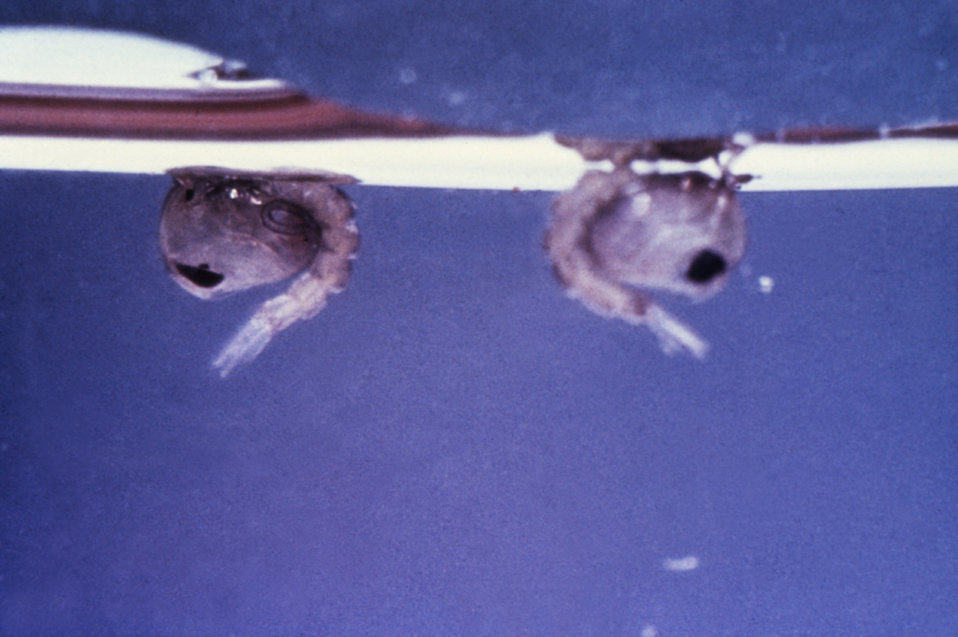 This photograph of mosquito pupae was taken during a 1972 study of disease carriers, and pests of migrant labor camps.
