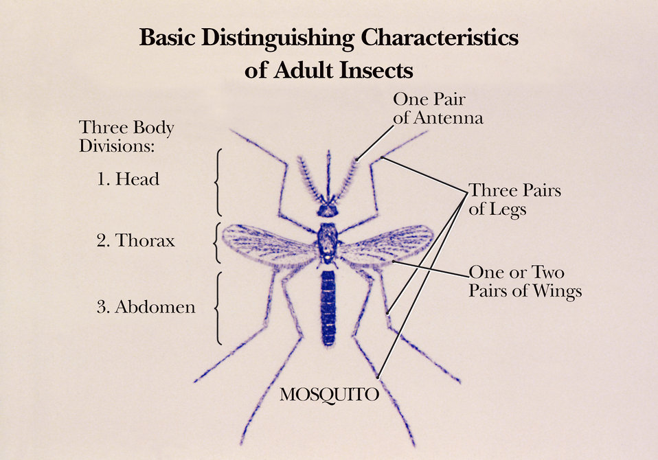 Though this is an illustration of a mosquito, it reveals some of the basic characteristics of all adult insects.