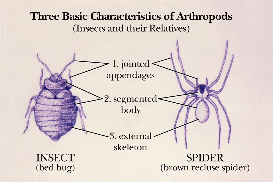 This drawing of a bedbug and a brown recluse spider shows common body characteristics of the Phylum Arthropoda members.