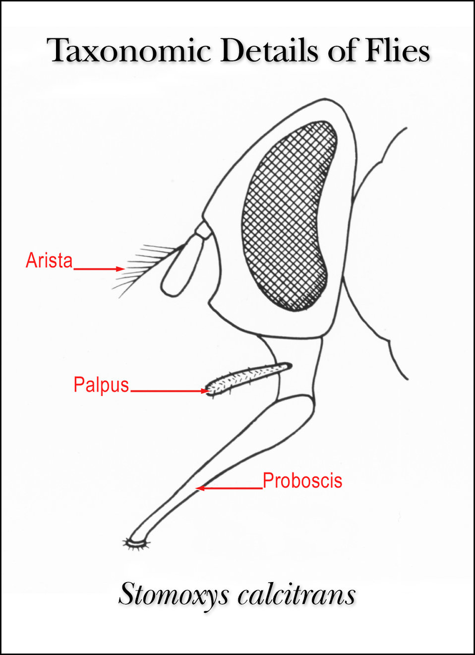 This illustration shows the taxonomic details in the head region of the fly Stomoxys calcitrans.