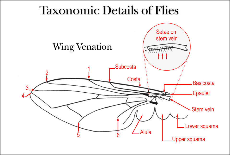 This illustration shows the details of a fly's wing venation, which are important when taxonomically classifying these insects.