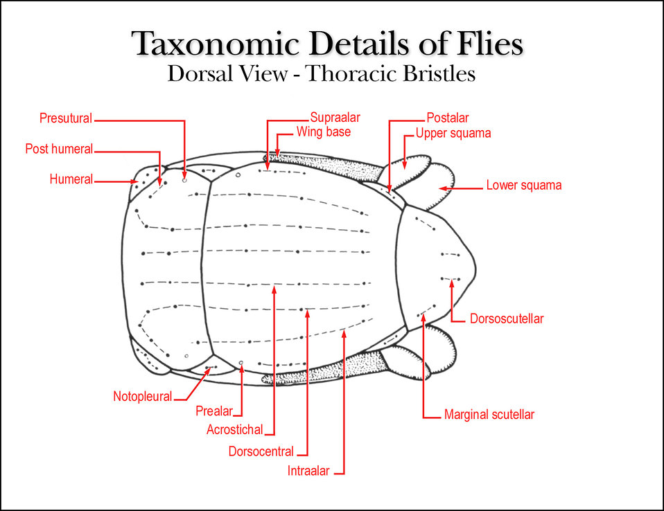 This illustration shows the lateral view of a fly's thorax comprised of thoracic exoskeletal plates and bristles.