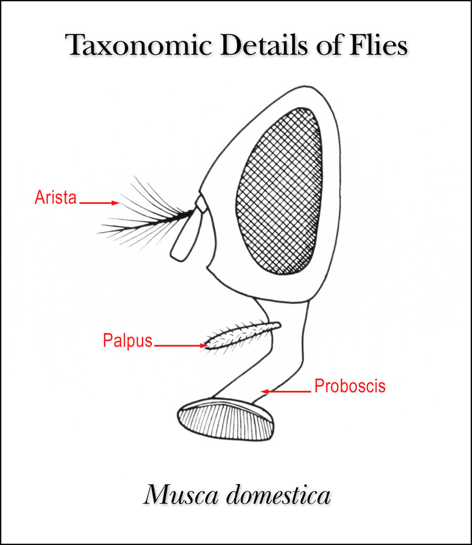 This illustration shows the taxonomic details in the head region of the common housefly, Musca domestica.