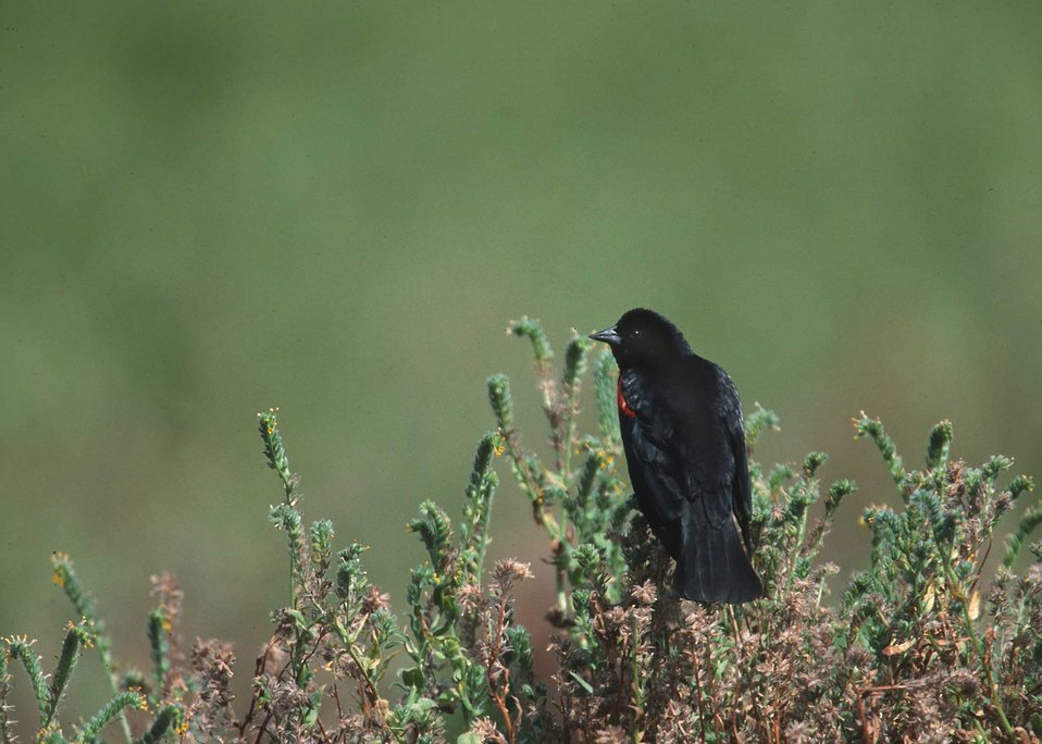 Tri-colored blackbird in yolo county.