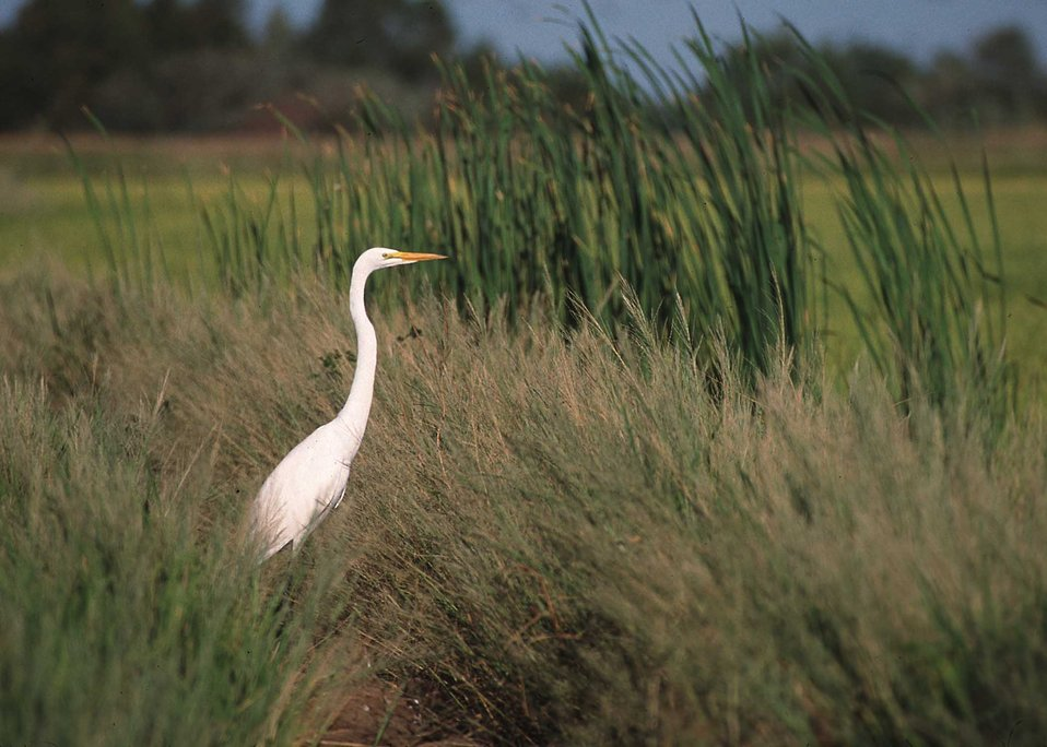 Common egret in grassy area near rice field in Northern California.
