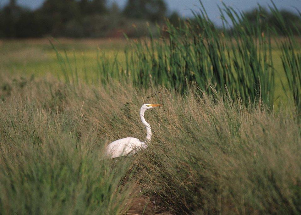Common egret in grassy area near rice field in Northern California.