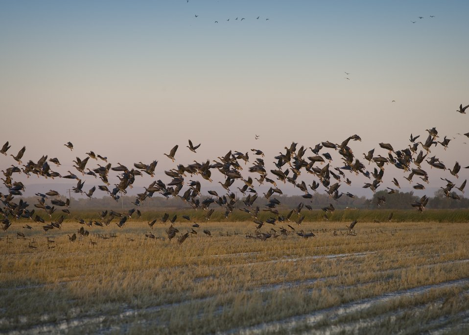 Geese flying off a rice field in Sacramento Valley, California.