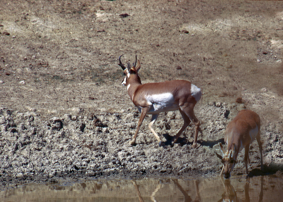 Antelope in a Wildlife Conservation area in Arizona