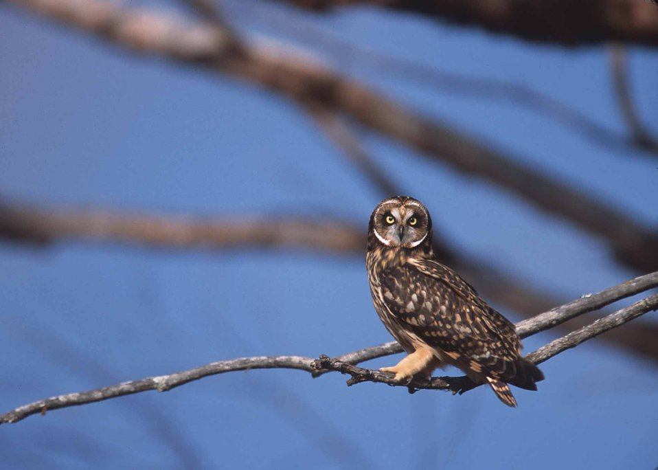 The short eared owl in Hawaii.