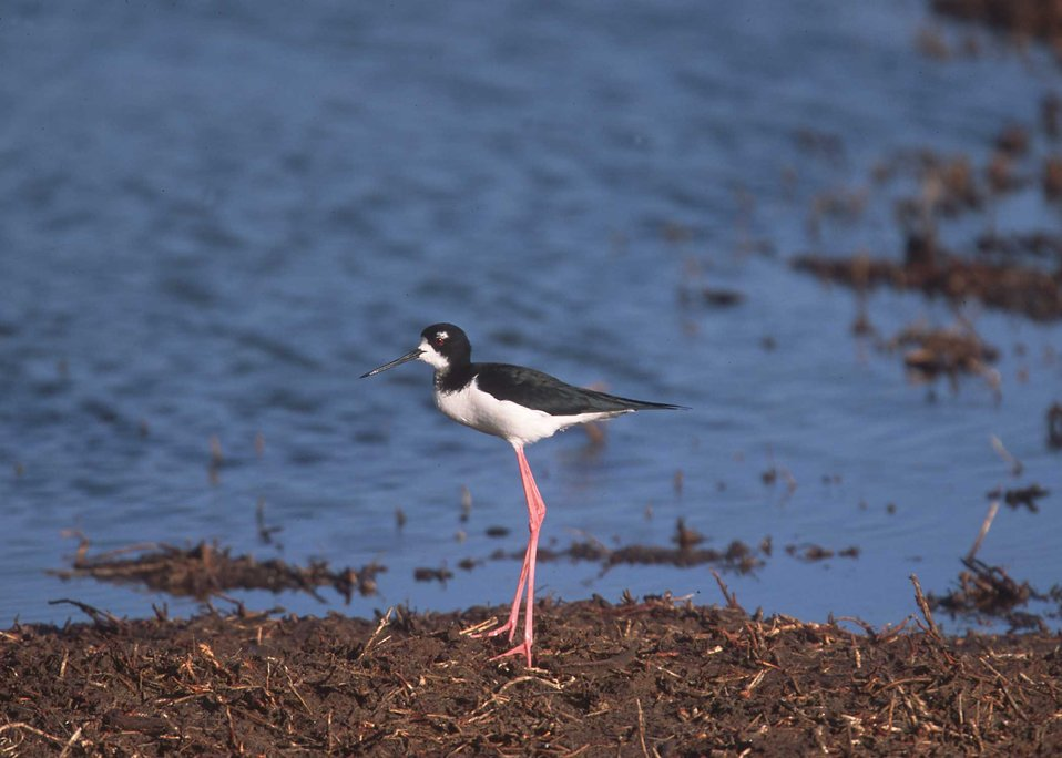 Black neck stilt in Hawaii.
